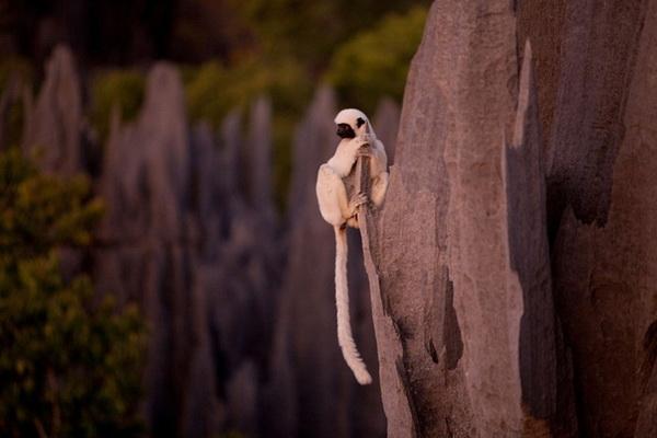 Лемуры парка Цинги-де-Бемараха