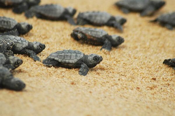 Новорождённые черепашки на пляже Чиралы