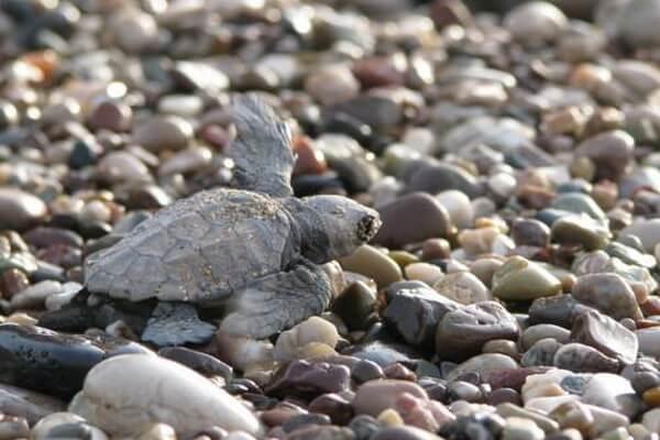 Черепахи на пляже Чиралы в Турции