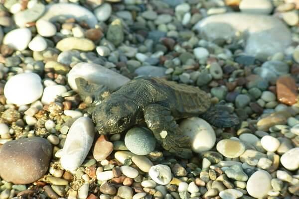 Пляж Чиралы в Турции - место рождения черепашек