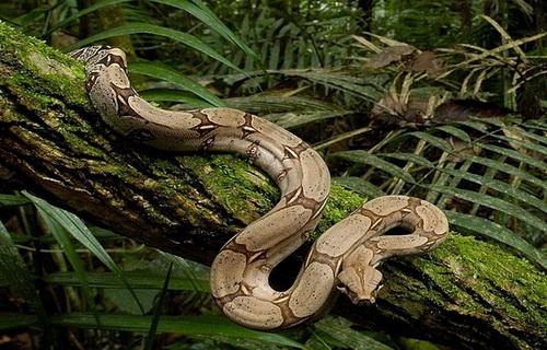 Удав в джунглях Панамы