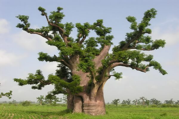 Виды баобаба с фото и описанием - Адансония пальчатая или африканский баобаб