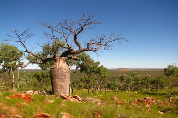 Виды баобаба с фото и описанием - Адансония Грегори или боаб (австралийский баобаб)