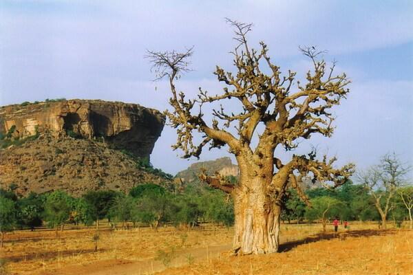 Виды баобаба с фото и описанием - Адансония килима или горный африканский баобаб