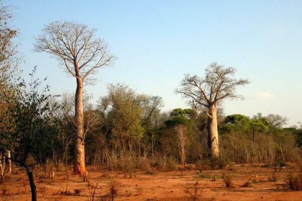Виды баобаба с фото и описанием - Адансония или баобаб за
