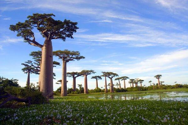 Виды баобаба с фото и описанием - Адансония мадагаскарская