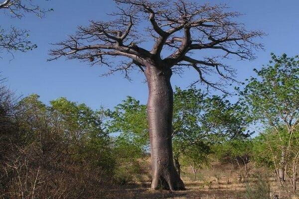 Виды баобаба с фото и описанием - Адансония Суареса