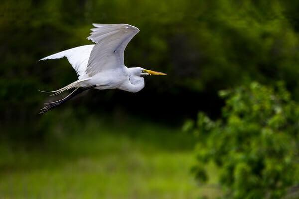Виды цапель с фото и описанием - Большая белая цапля в полёте