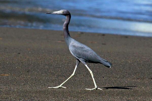 Виды цапель с фото и описанием - Малая голубая цапля