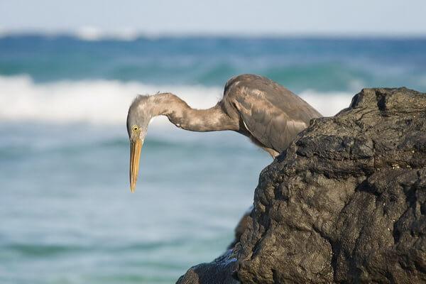 Все виды цапель с фото и описанием - Восточная рифовая цапля