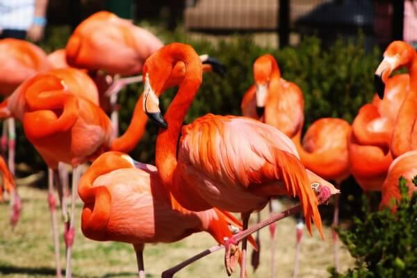Виды фламинго с фото и описанием - Красный фламинго