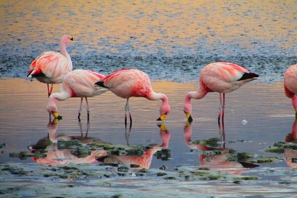 Виды фламинго с фото и описанием - Фламинго Джеймса или Джемса