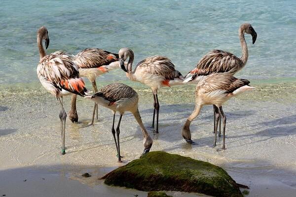 Виды фламинго с фото и описанием - Чилийский фламинго