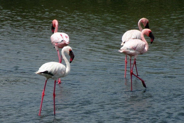 Виды фламинго с фото - Малый фламинго