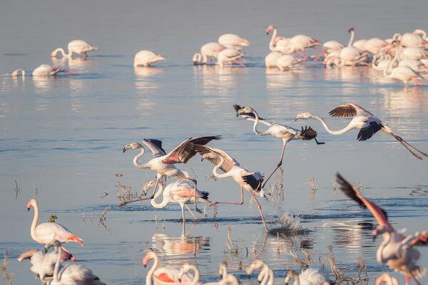 Виды фламинго с фото и описанием - Розовый или обыкновенный фламинго