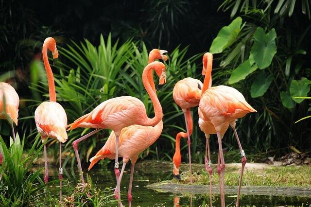 Виды фламинго - фото и описание