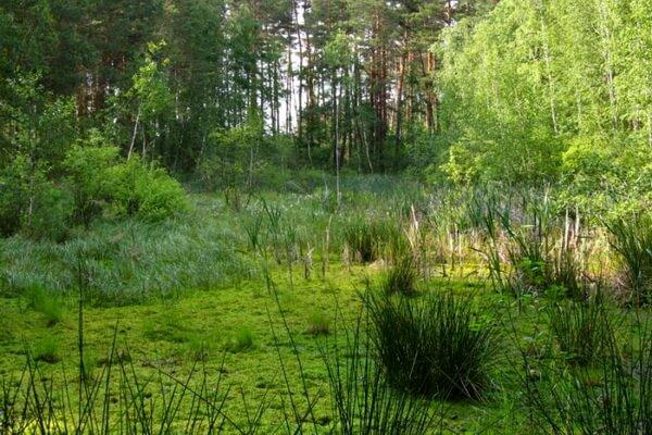 Чаруса на болоте