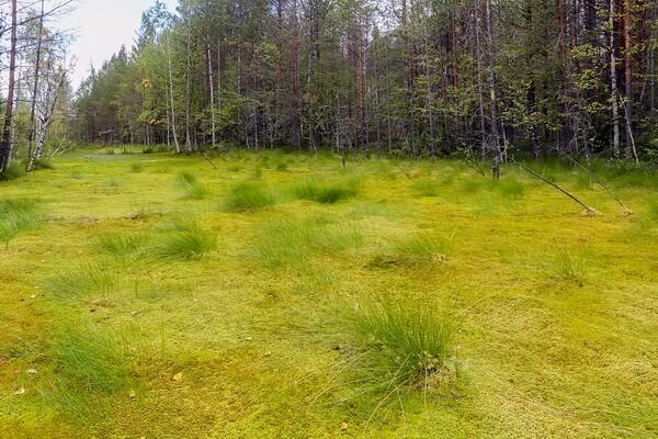 Сфагнумовое болото - как образуется