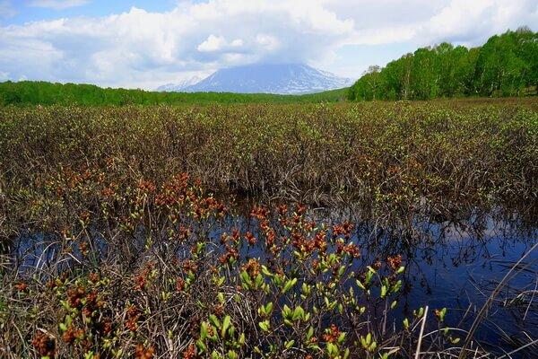 Виды болот по типу произрастающей растительности - Кустарничковые болота
