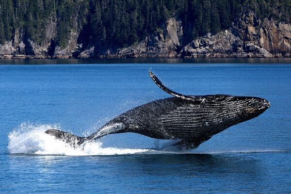 Семейства китов с фото и описанием - Полосатиковые киты (полосатики)