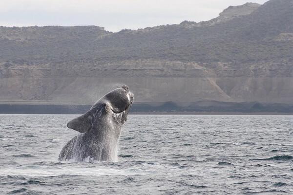 Семейства и виды китов с фото и описанием - Гладкие киты