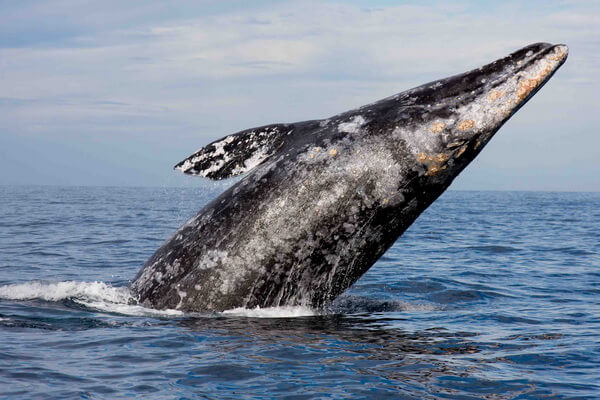 Семейства и виды китов с фото и описанием - Серые или калифорнийские киты