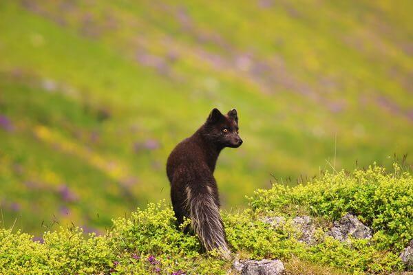 Виды лисиц с фото, названиями, описанием - Песец или полярная лисица летом