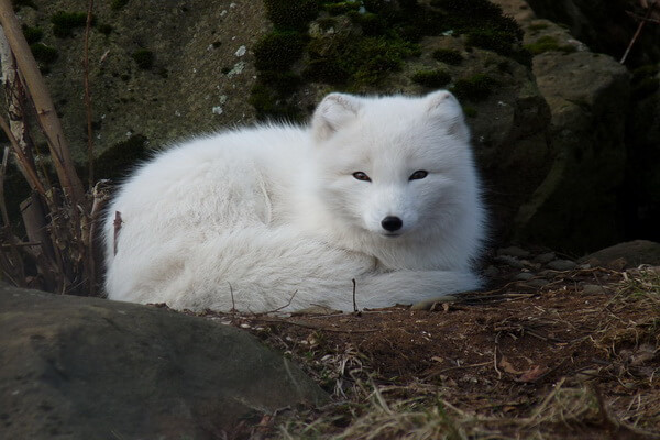Виды лисиц с фото, названиями, описанием - Песец или полярная лисица зимой