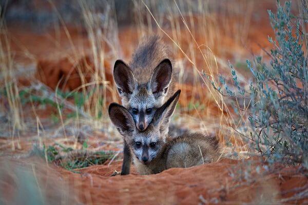 Виды лисиц с фото, названиями, описанием - Африканская лисица