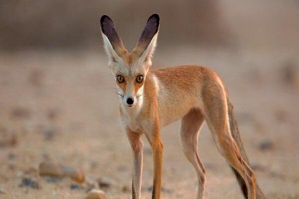 Виды лисиц с фото, названиями, описанием - Афганская или бухарская лисица