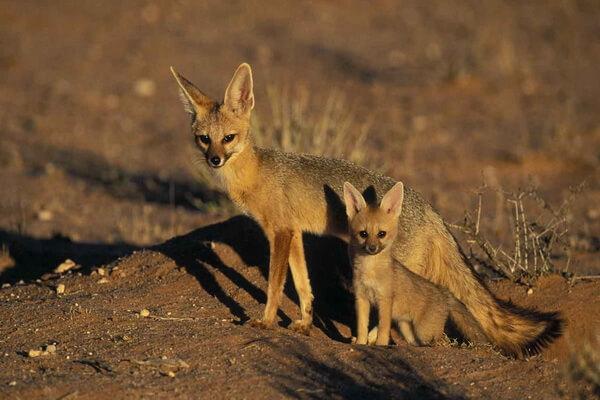 Виды лисиц с фото, названиями, описанием - Южноафриканская лисица