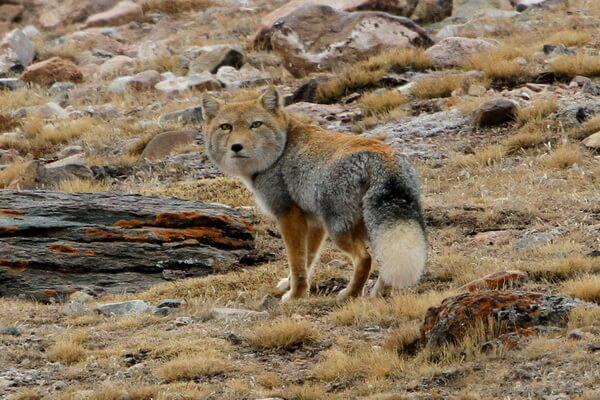 Виды лисиц с фото, названиями, описанием - Тибетская лисица