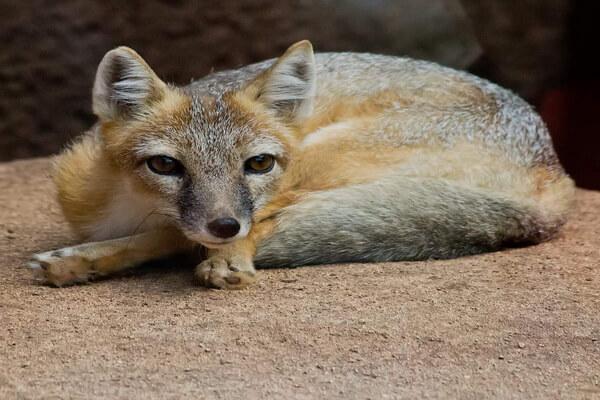 Виды лисиц с фото, названиями, описанием - Американский корсак или лисица прерий