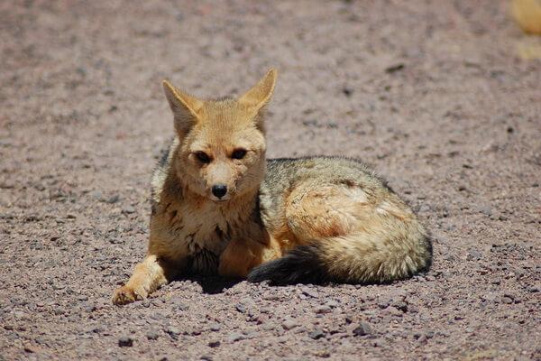 Виды лисиц с фото, названиями, описанием - Американская лисица