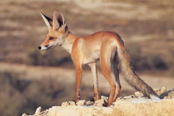 Виды лисиц с фото, названиями, описанием - Песчаная лисица