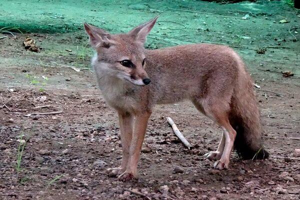 Виды лисиц с фото, названиями, описанием - Бенгальская лисица