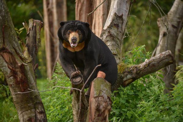 Виды медведей с фото и описанием - Малайский медведь (бируанг)