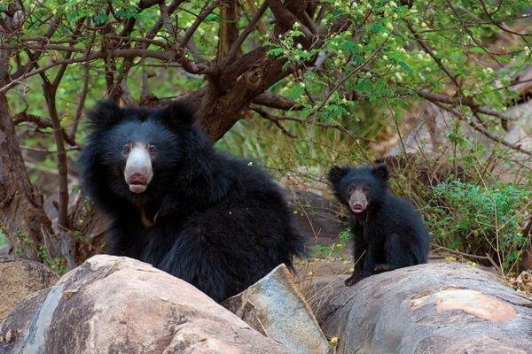 Виды медведей с фото и описанием - Губач или медведь-ленивец