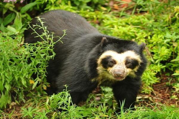 Виды медведей с фото и описанием - Очковый или андский медведь