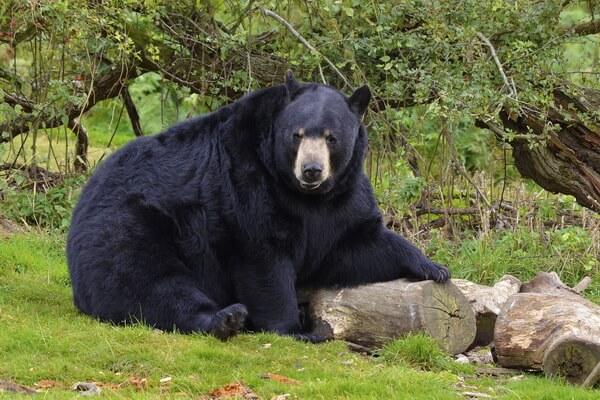 Виды медведей с фото и описанием - Чёрный медведь (барибал)