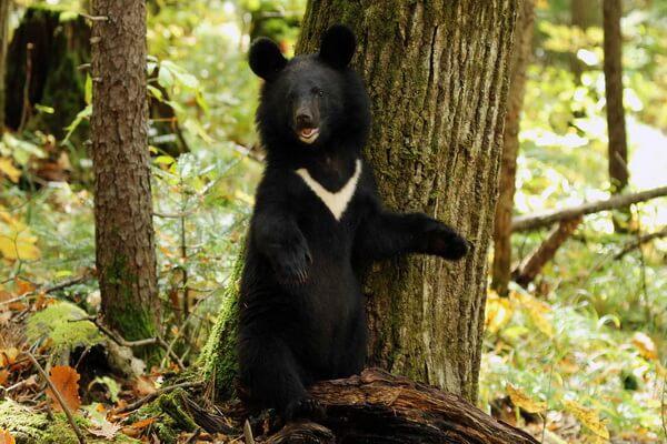 Виды медведей с фото и описанием - Чёрный гималайский медведь