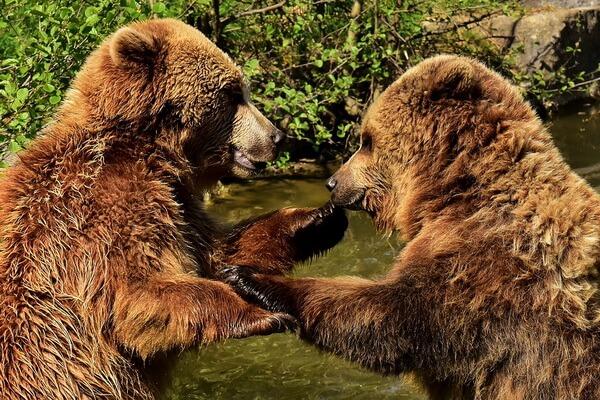 Виды медведей с фото и описанием - Бурый медведь