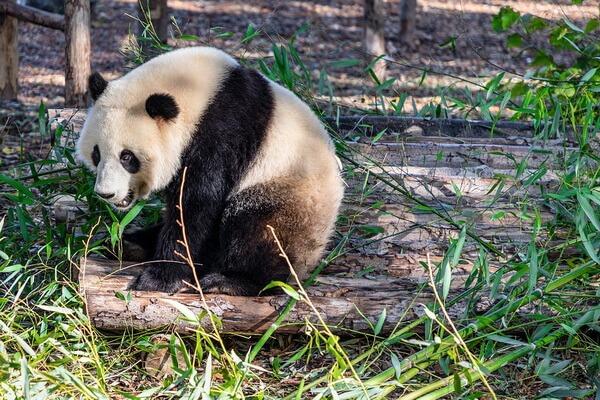 Виды медведей с фото и описанием - Большая панда (бамбуковый медведь)