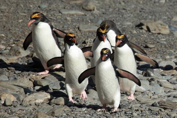 Виды пингвинов с фото и описанием - Золотоволосый пингвин