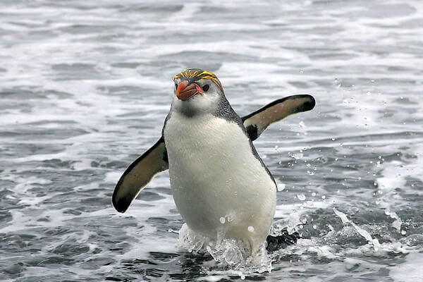 Виды пингвинов с фото и описанием - Пингвин Шлегеля