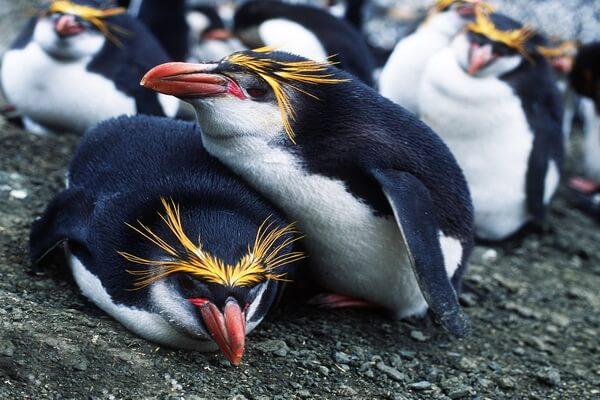 Виды пингвинов с фото и описанием - Северный хохлатый пингвин