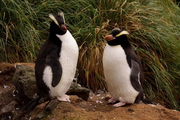 Виды пингвинов с фото и описанием - Большой хохлатый пингвин