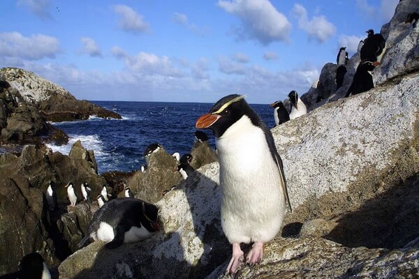 Виды пингвинов с фото и описанием - Снэрский хохлатый пингвин