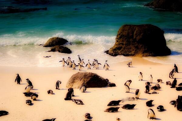 Виды пингвинов с фото и описанием - Очковый или африканский пингвин