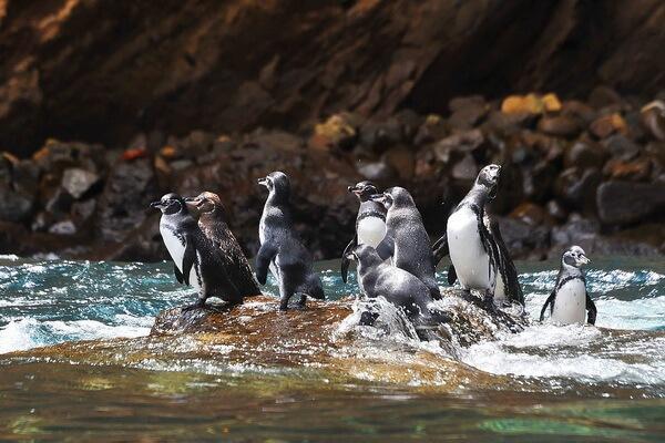 Виды пингвинов с фото и описанием - Галапагосский пингвин